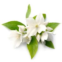 Everything Jasmine